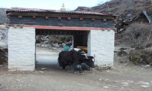 Zdjęcie NEPAL / Khumbu / Khumjung / Jak