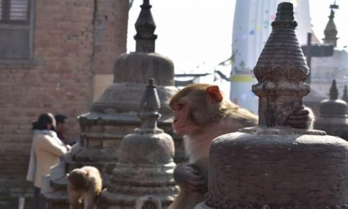 Zdjecie NEPAL / Katmandu / Katmandu / Małpka w Swayambhunath