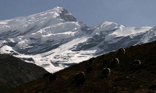 Zdjecie NEPAL / Annapurna Conservation Area / okolice Thorung Pedi / białe ogony jaków