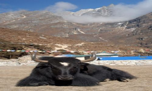 Zdjecie NEPAL / Khumbu Valley / Nepal / jeden z naszych Yakow