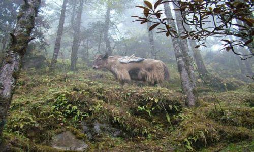 Zdjecie NEPAL / Himalaje / Sagarmatha National Park / Zaczarowany yak