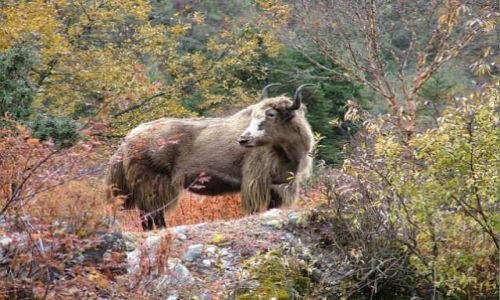 Zdjecie NEPAL / Himalaje / Sagarmatha National Park / Jesienny yak