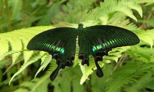 Zdjecie NEPAL / Annapurna Trek / Dżungla / Czarny motyl