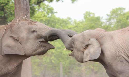 Zdjecie NEPAL / - / Zabawa słoni w Chitwan National Park / Trąbami