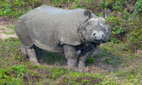 Zdjecie NEPAL / - / Park Narodowy Chitowan / nosorożec