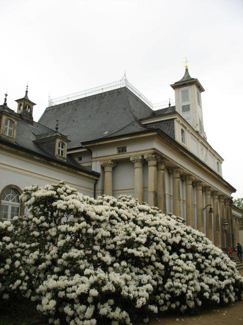 Zdjęcia: Pillnitz, Saksonia, rododendron przed pałacem, NIEMCY
