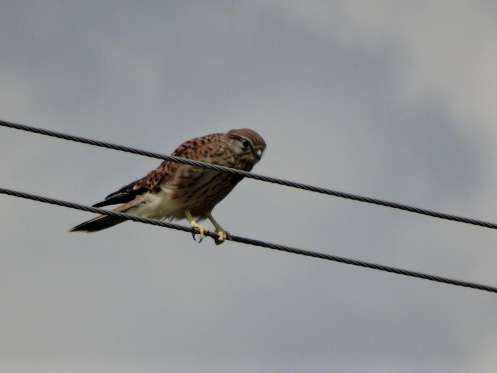 Zdjęcia: BAWARIA, Bawaria, Postułka zwyczajna  (Falco tinnunculus), NIEMCY