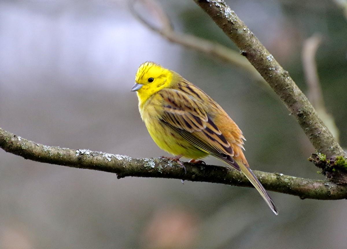 """Zdjęcia: Sauerland, Westfalia, """"cytrynka"""" wśród ptaków , NIEMCY"""
