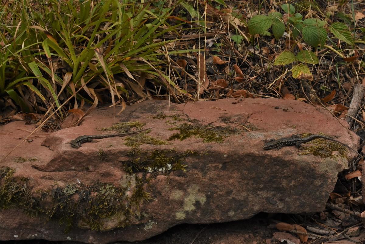 Zdjęcia: Lambrecht, Nadrenia Pallatynat, Lambrecht, jaszczurki, NIEMCY