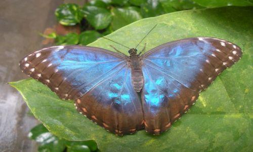NIEMCY / Wyspa Uznam / ferma motyli / Motyl - młody Morpho niebieski
