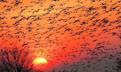 Zdjęcie NIEMCY / - / okolica Greetsiel / przelot gęsi wieczorwą porą