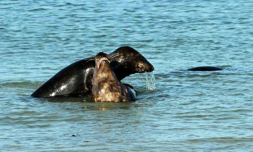 Zdjecie NIEMCY / Morze Północne / Wyspa Dine / zabawy fok
