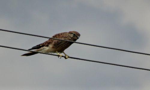 Zdjecie NIEMCY / Bawaria / BAWARIA / Postułka zwyczajna  (Falco tinnunculus)