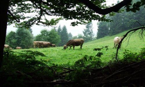 Zdjęcie NIEMCY / Bawaria / okolice Bolsterlang / Po krowiemu