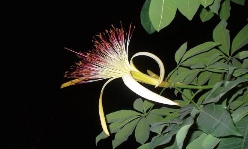 Zdjecie NIEMCY / Brandenburgia / Tropical Island / Kwiat na drzewie (nie znam jego nazwy)