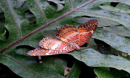 Zdjecie NIEMCY / Uznam / Trasenheide - ferma motyli / Cethosia biblis