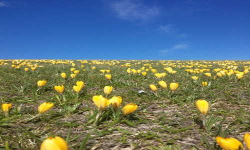 Zdjecie NIEMCY / Cuxhaven / Cuxhaven / przedwiośnie i jego kwiaty