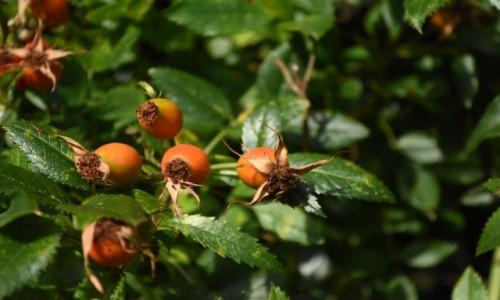Zdjecie NIEMCY / Nadrenia Pallatynat / Wachenheim / Wachenheim, dzikie róże