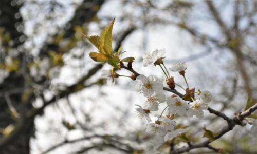 Zdjecie NIEMCY / Nadrenia Pallatynat / Ludwigshafen / Oggersheim, wiosna