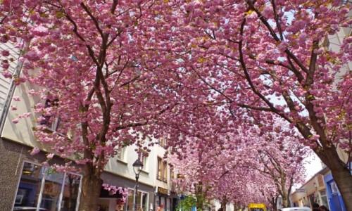 Zdjecie NIEMCY / nadrenia północna-westfalia / Bonn / - uliczka kwitnącej wiśni -
