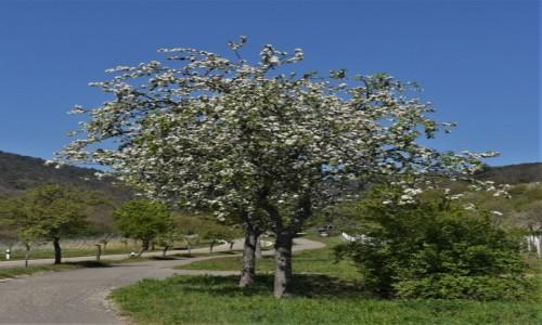 Zdjecie NIEMCY / Nadrenia Pallatynat / Maikammer / Maikammer, wiosna