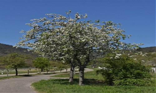 NIEMCY / Nadrenia Pallatynat / Maikammer / Maikammer, wiosna