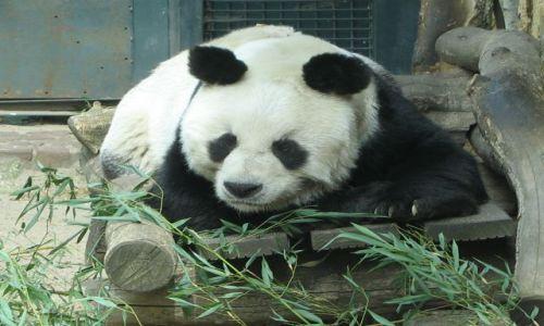 Zdjecie NIEMCY / Brandenburgia / Berlin zoo / panda wielka