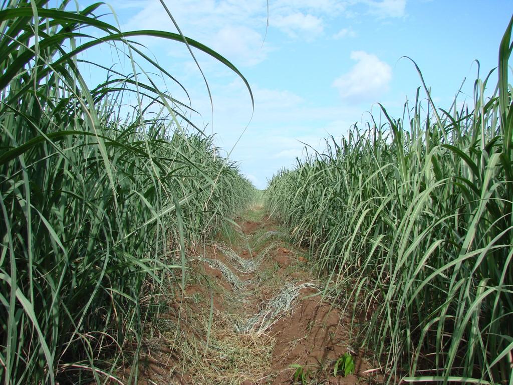 Zdjęcia: okolice Managua, Managua, Trzecina cukrowa, NIKARAGUA