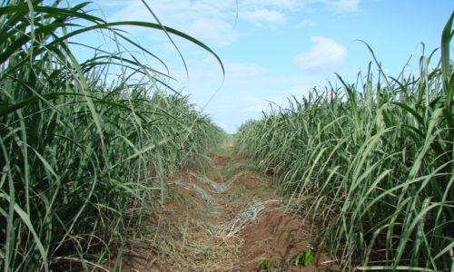 Zdjęcie NIKARAGUA / Managua / okolice Managua / Trzecina cukrowa