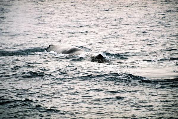 Zdjęcia: otwarte wody za szelfem kontynentalnym, +/- 70 rownoleznik, Moby Dick - ostatni oddech przed nurkowaniem, NORWEGIA