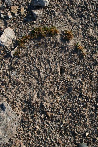 Zdjęcia: Dab Osmioplatkowy, Svalbard, Flora Polarna - Dab Osmiopłatkowy , NORWEGIA