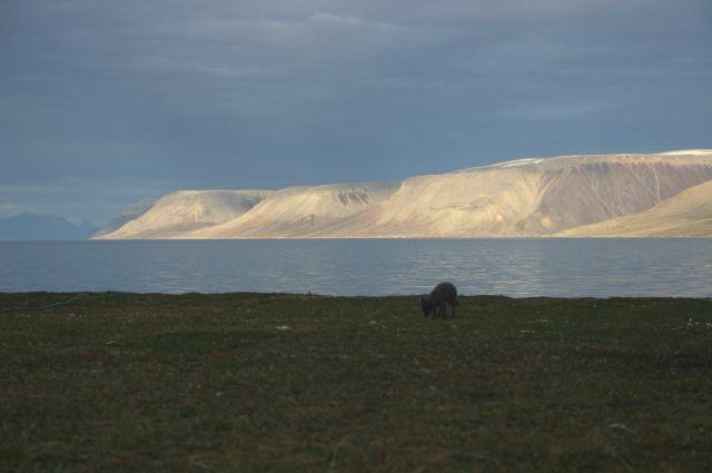Zdj�cia: Dolina Ebby, Svalbard, Czesc Lis czarny , NORWEGIA