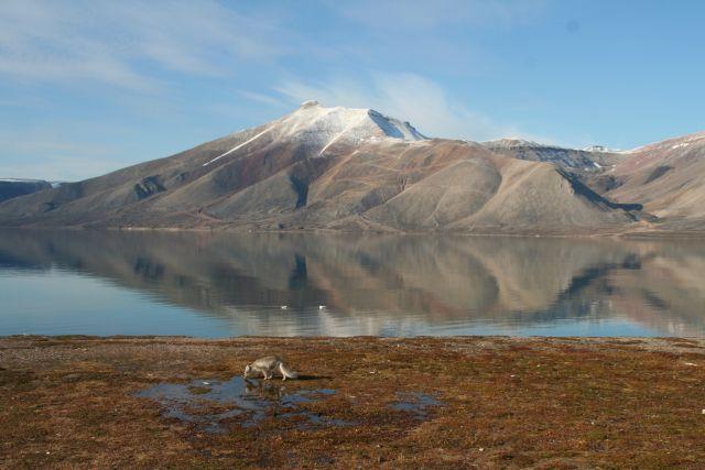 Zdjęcia: Dolina Ebby, Svalbard, Czesc Lis polarny, NORWEGIA