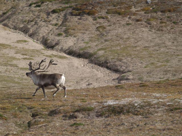 Zdjęcia: Dolina Ebby, Svalbard, Czesc renifer, NORWEGIA