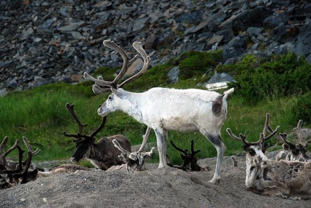 Zdjęcia: Olderfjord, Finmark, Renifery tundrowe, NORWEGIA