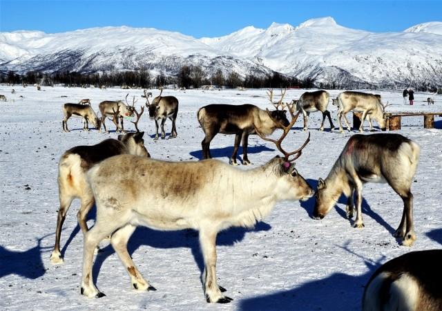 Zdjęcia: Tønsvik, Troms, Rogate stadko, NORWEGIA