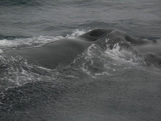 Zdjęcia: Morze Barentsa, Szpicbergen, Humbak, NORWEGIA