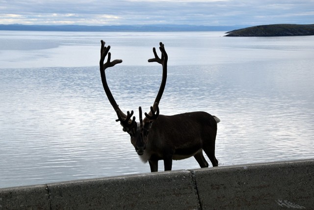 Zdjęcia: Porsangerfjoreden, Finnmark, Norweski renifer, NORWEGIA