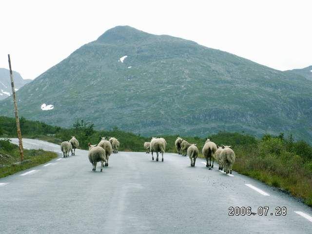 Zdjęcia: Droga nr 63, Owce, NORWEGIA