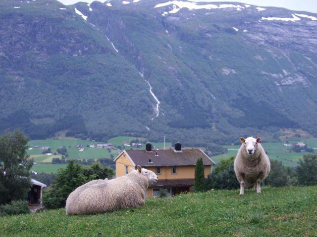 Zdjęcia: Bergen -> Otta, owce, NORWEGIA