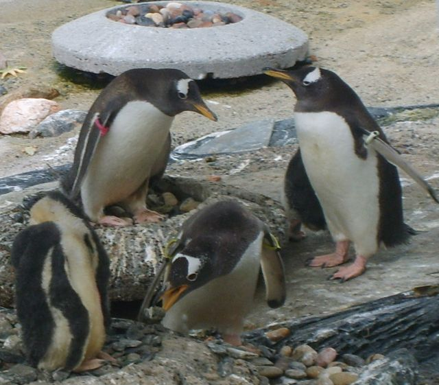 Zdjęcia: Oceanarium w Bergen, Bergen, Pingwiny 1, NORWEGIA