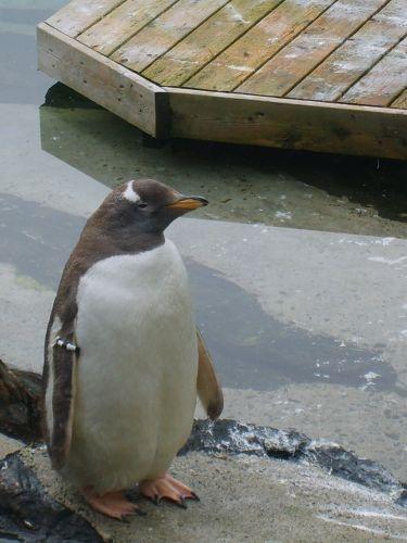 Zdjęcia: Oceanarium w Bergen, Bergen, Pingwiny 3, NORWEGIA