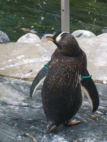 Zdjęcia: Oceanarium w Bergen, Bergen, Pingwiny cd, NORWEGIA