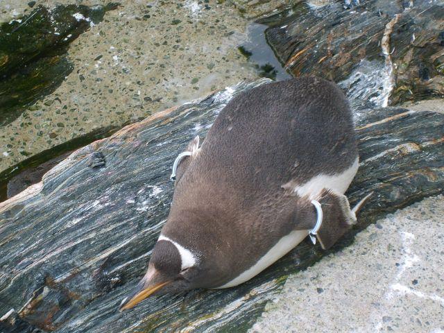 Zdjęcia: Oceanarium w Bergen, Bergen, Pingwiny, NORWEGIA
