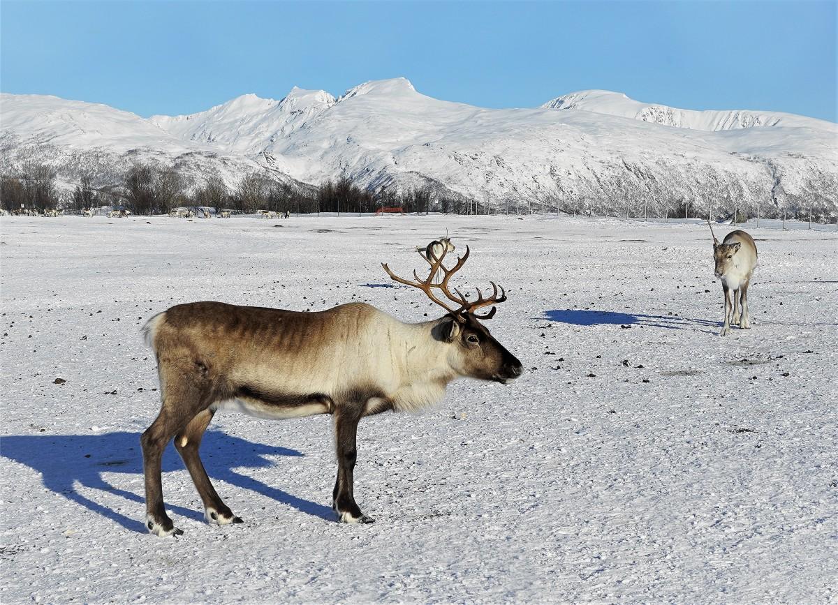 Zdjęcia: ., Troms, Rogaś północy, NORWEGIA