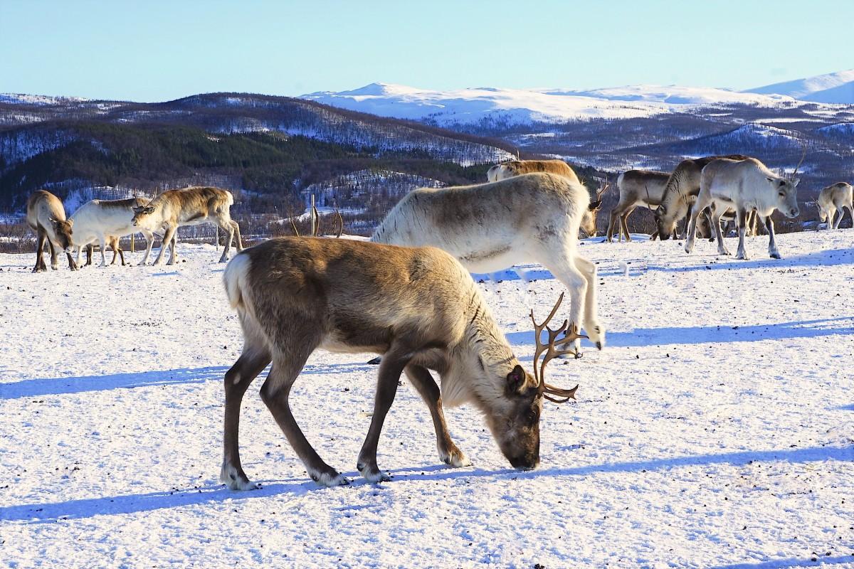 Zdjęcia: Tromsø, Troms, Stadko Św. Mikołaja, NORWEGIA