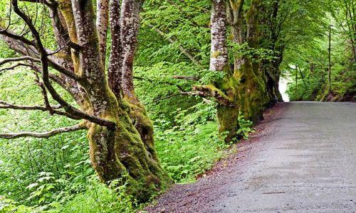 NORWEGIA / okolice Bergen / Troldhaugen / Przydrożne drzewa