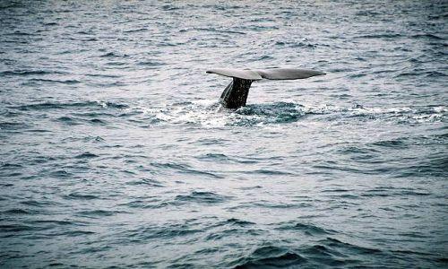 Zdjecie NORWEGIA / +/-  70 rownoleznik / otwarte wody za szelfem kontynentalnym / Moby Dick 2