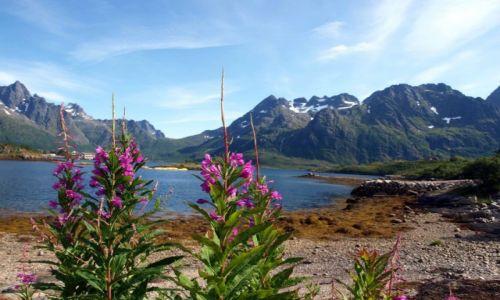 Zdjecie NORWEGIA / - / Lofoty / kwiaty i góry