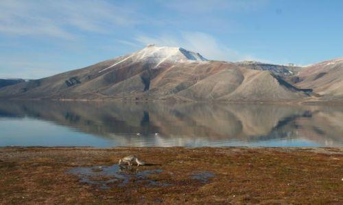 NORWEGIA / Svalbard / Dolina Ebby / Czesc Lis polarny